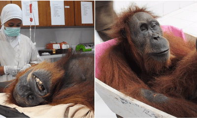 Orangutan That Was Shot With 74 Bullets Slowly Recovering From Her Injuries - WORLD OF BUZZ