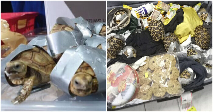 Over 1,500 Live Turtles and Tortoises Found Wrapped in Duct Tape in Philippines - WORLD OF BUZZ 2