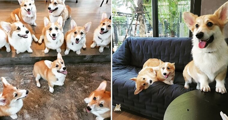 There's A Cafe With 12 Fluffy Corgis In Bangkok & We're Overwhelmed With Cuteness - World Of Buzz