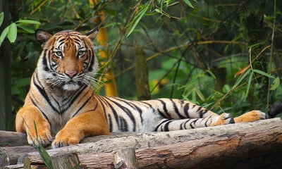 Water, Land & Natural Resources Minister: 'Harimau Malaya' Could Go Extinct in 10 Years - WORLD OF BUZZ 4
