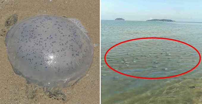 Dead Jellyfish Can Still Release Venom, Beachgoers Warned After Huge Number Of Jellyfish Spotted In Sabah Coast - WORLD OF BUZZ