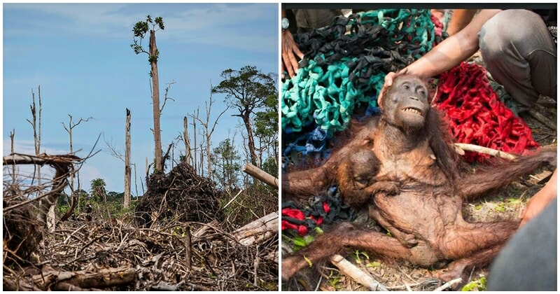 Orangutans On The Verge Of Extinction, Experts Predict Another 10 Years Before Total Wipe Out - World Of Buzz 3