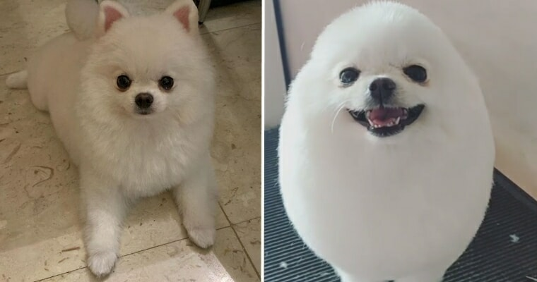 Pomeranian Goes Viral After Being Groomed To Look Like A Walking Egg - WORLD OF BUZZ 4