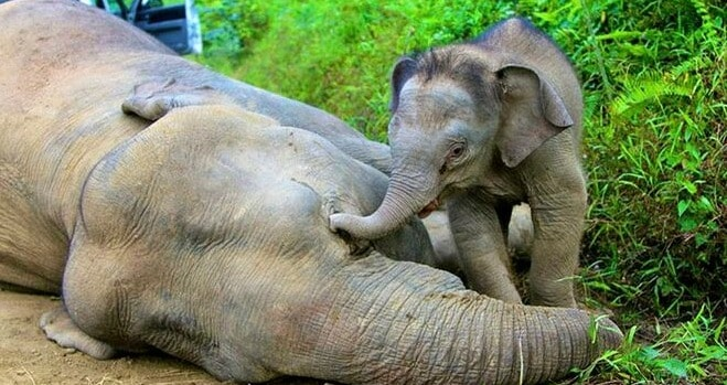 Report: About 1,000 Elephants Left in M'sian Forests, Many Other Species On Verge of Extinction - WORLD OF BUZZ 4