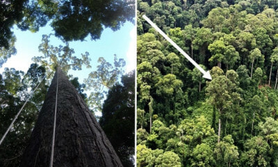 World's Tallest Tropical Tree In Sabah Just Lost Title To Another Giant Meranti In Same State - WORLD OF BUZZ 1