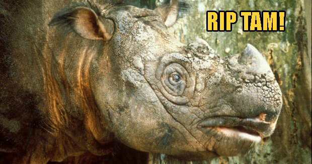 Tam, Malaysia's Last Surviving Sumatran Male Rhino Died After a Long Battle With Multiple Organ Failure - WORLD OF BUZZ