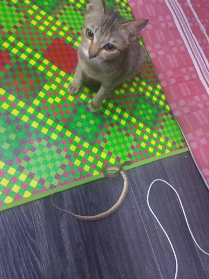 Cute Cat Bites & Spoil Owner's Earphones, Brings Back Snake As Replacement Gift - WORLD OF BUZZ 2
