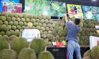 Durian Lovers Rejoice! Musang King Prices Expected to Drop to RM20 Per Kg! - WORLD OF BUZZ 4