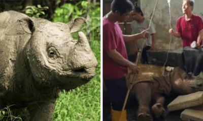 Malaysia's Last Male Sumatran Rhino Under Round The Clock Care As Health Fades Fast - WORLD OF BUZZ