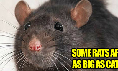 Rats Wanted! RM3 Will Be Rewarded for Every Rat Caught - WORLD OF BUZZ