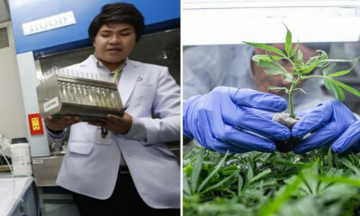 This University in Thailand Just Started A Marijuana Research Institute - WORLD OF BUZZ 3