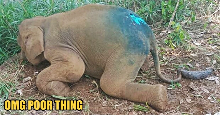 A Baby Pygmy Elephant Found With Maggots-Infested Wound, Currently Under Care - World Of Buzz