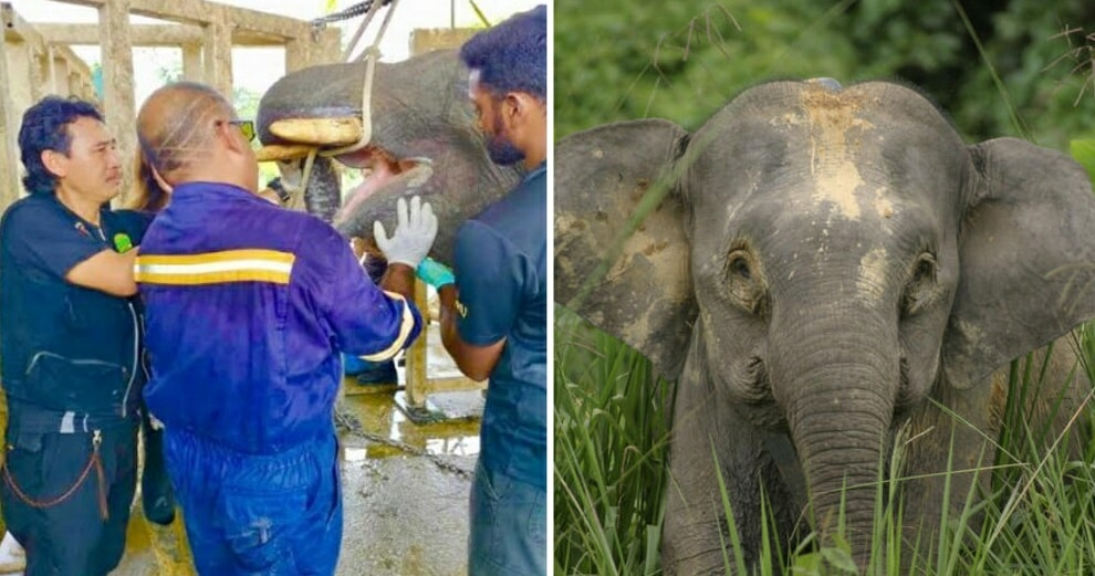 Endangered Elephant In Sabah Put Out Of Misery After It Failed To Heal From Jaw Injury Likely Caused By Vehicle - World Of Buzz 2