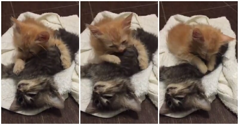Oren The Kitten Grieves On Brother's Deathbed, Devastate Netizens - WORLD OF BUZZ