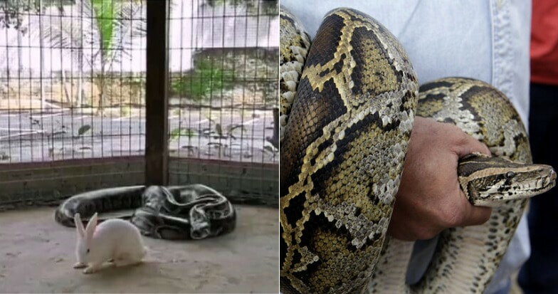 M'sian Resort's Video of Python Devouring Live Rabbit On IG Sparks Outrage Amongst Netizens - WORLD OF BUZZ