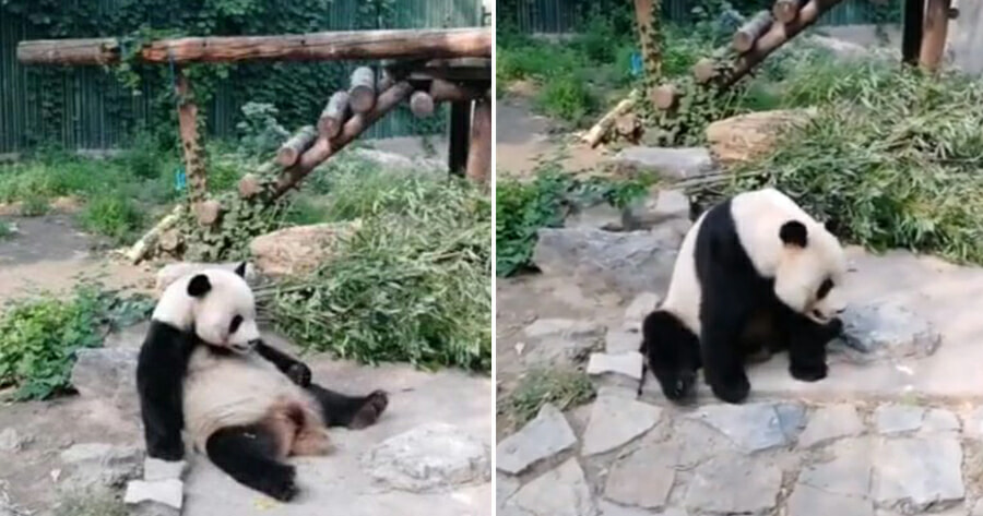 Tourists at Zoo Throw Rocks at Resting Giant Panda to Wake It Up - WORLD OF BUZZ