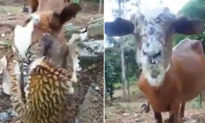 [VIDEO] This Goat is Malaysia's Greatest Durian Lover - WORLD OF BUZZ