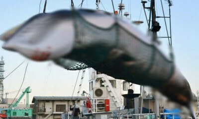 Japan Resumes Whale-hunting After 30 Years - WORLD OF BUZZ
