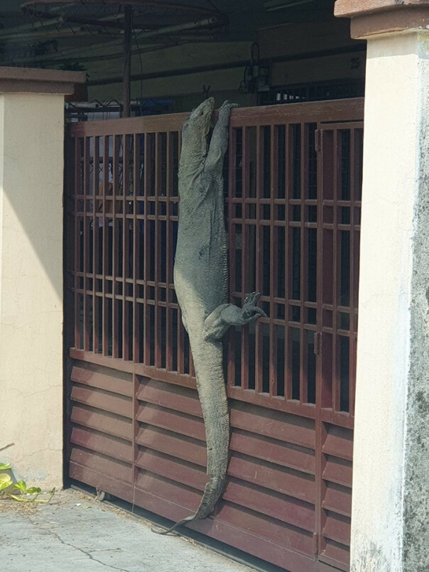 Johor Man Shocked to Find Monitor Lizard So Huge It Looks Like A Crocodile Perching on His House Gate - WORLD OF BUZZ
