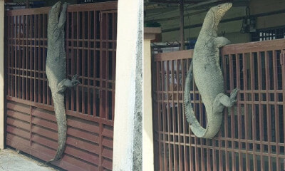 Johor Man Shocked to Find Monitor Lizard So Huge It Looks Like Crocodile On His House Gate - WORLD OF BUZZ 5