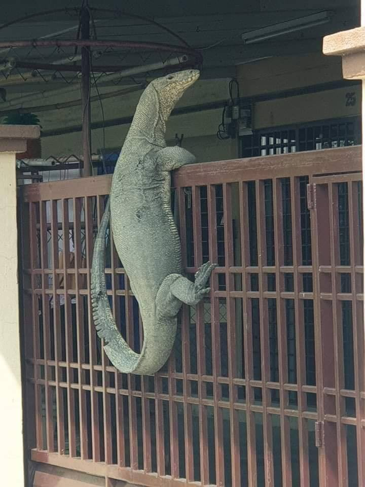 Johor Man Shocked to Find Monitor Lizard So Huge It Looks Like Crocodile On His House Gate - WORLD OF BUZZ