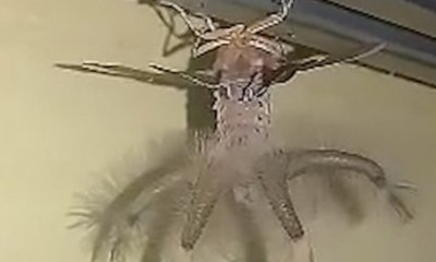 Man Shocked to Find Tentacled, Alien-Looking Bug Crawling on Ceiling in Bali Home - WORLD OF BUZZ