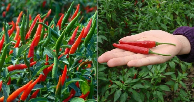 New Study Shows That Eating A Lot of Fresh & Dried Chillies Is Linked To Memory Loss - WORLD OF BUZZ
