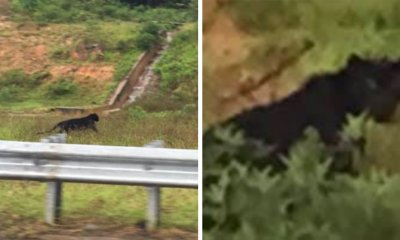 Photo of Endangered Black Panther Crossing Janda Baik Highway in Search of New Territory Goes Viral - WORLD OF BUZZ