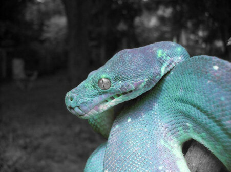 The World's Most Expensive Is A Green Tree Python That's Not Green But Blue - WORLD OF BUZZ 1