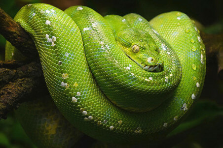 The World's Most Expensive Is A Green Tree Python That's Not Green But Blue - WORLD OF BUZZ 3