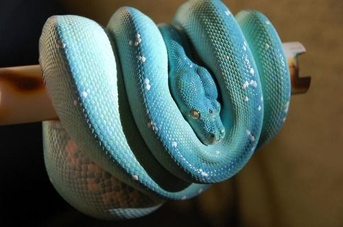 The World's Most Expensive Is A Green Tree Python That's Not Green But Blue - WORLD OF BUZZ
