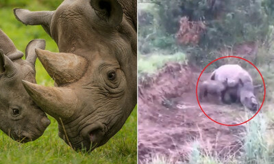 [Watch] Baby Rhino Tries to Wake Dead Mother Up Who Was Shot By Poachers In a Heart-Breaking Video - WORLD OF BUZZ