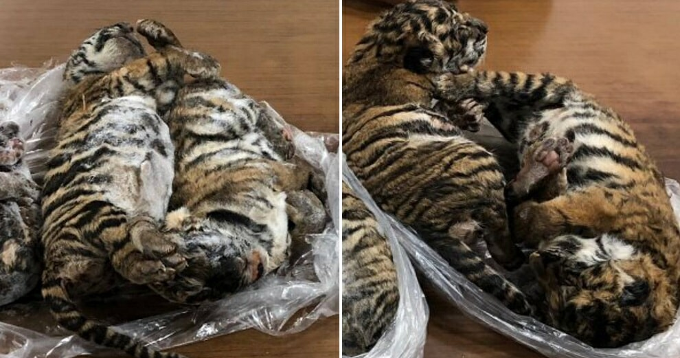 Wildlife Smugglers Arrested After Frozen Carcasses Of 7 Tiger Cubs Were Found Inside Car - WORLD OF BUZZ 1