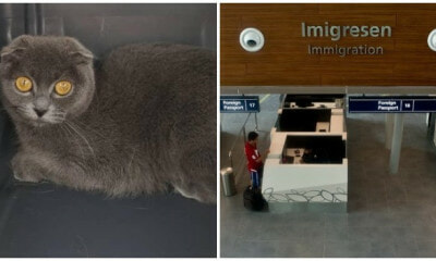 "British Short Hair Cat Becomes ""Illegal Immigrant"" Due To Dubious Import Purr-mit - WORLD OF BUZZ"