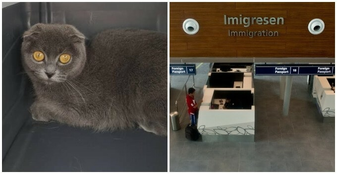 """British Short Hair Cat Becomes """"Illegal Immigrant"""" Due To Dubious Import Purr-mit - WORLD OF BUZZ"""