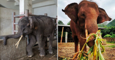 Chained & Injured Elephant Finally Gets Happy Ending When He Is Rescued From Cramped Enclosure - WORLD OF BUZZ 3