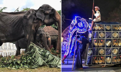 70yo Frail & Weak Elephant Forced to Walk in Parade - WORLD OF BUZZ