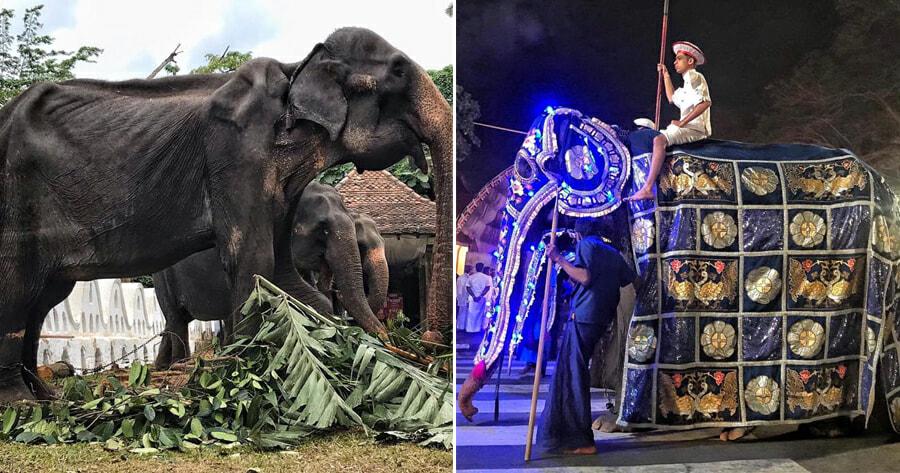 70yo Frail & Weak Elephant Forced to Walk in Parade - WORLD OF BUZZ
