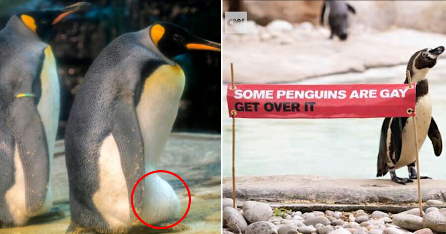 Gay Penguin Couple Adopts Abandoned Egg & Plans to Hatch it As Their Own - WORLD OF BUZZ