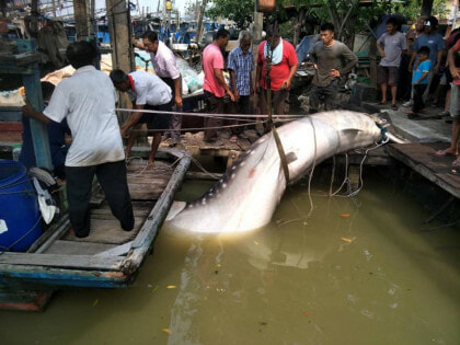 Giant Whale Shark Landed In Johor, Netizens Shocked At Sheer Size Of The Fish - WORLD OF BUZZ 1