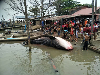 Giant Whale Shark Landed In Johor, Netizens Shocked At Sheer Size Of The Fish - WORLD OF BUZZ 2