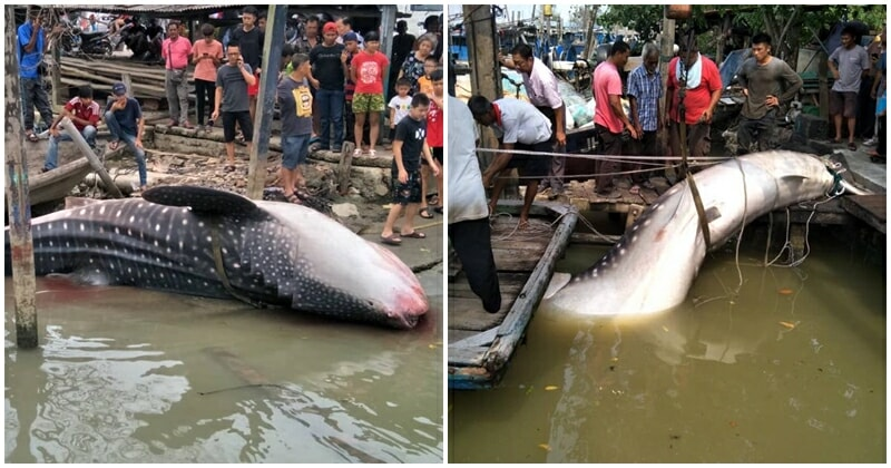 Giant Whale Shark Landed In Johor, Netizens Shocked At Sheer Size Of The Fish - WORLD OF BUZZ 7