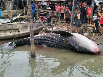 Giant Whale Shark Landed In Johor, Netizens Shocked At Sheer Size Of The Fish - WORLD OF BUZZ