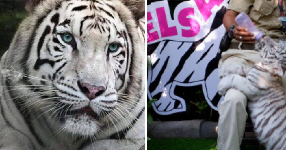 Melaka Zoo Has a White Tigress Named Elsa & We Can't Let It Go - WORLD OF BUZZ 2