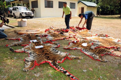 Only 23 Tigers Left In Two Forest Reserves In Perak Caused By Foreign Poachers - WORLD OF BUZZ 2