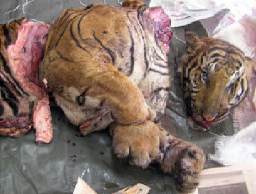 Only 23 Tigers Left In Two Forest Reserves In Perak Caused By Foreign Poachers - WORLD OF BUZZ 3