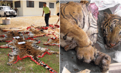 Only 23 Tigers Left In Two Forest Reserves In Perak Caused By Foreign Poachers - WORLD OF BUZZ 4