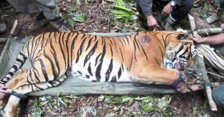 Only 23 Tigers Left In Two Forest Reserves In Perak Caused By Foreign Poachers - WORLD OF BUZZ