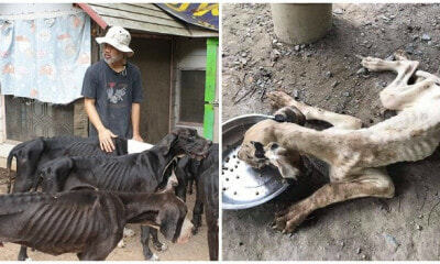 13 Severely Malnourished & Neglected Great Danes Bred For Sale Were Rescued - WORLD OF BUZZ