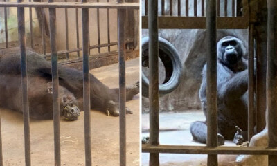 This is The Last Gorilla in Thailand & She Lives All Alone in An Old Zoo At Bangkok Mall - WORLD OF BUZZ 10